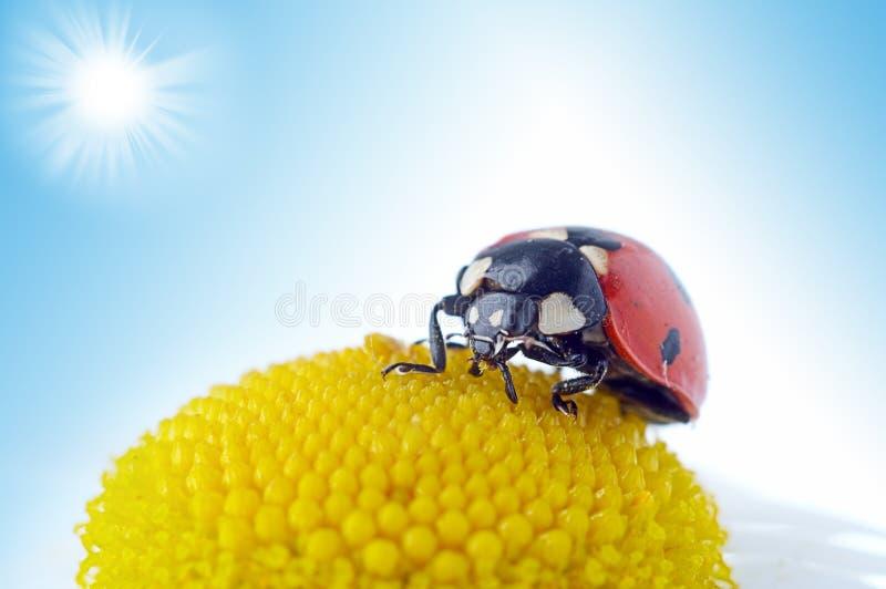 ladybug цветка стоцвета стоковое изображение rf