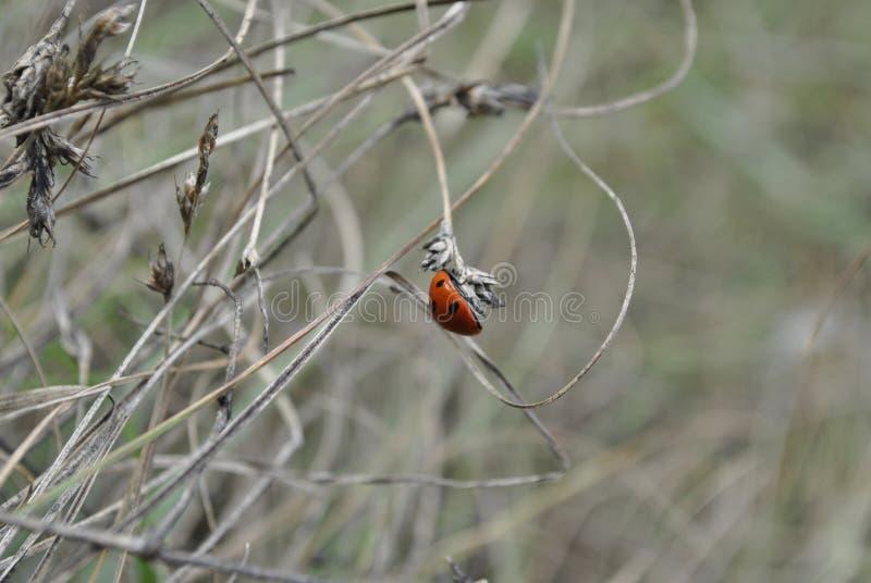 Ladybug121213131414 стоковая фотография rf