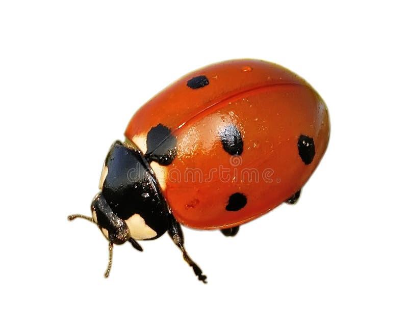 Download Ladybug στοκ εικόνα. εικόνα από χλωρίδα, απομονωμένος - 13182325