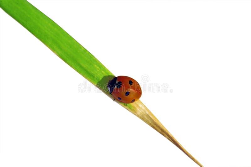 Download Ladybug στοκ εικόνες. εικόνα από χρώμα, βοτανικός, έννοια - 13182326
