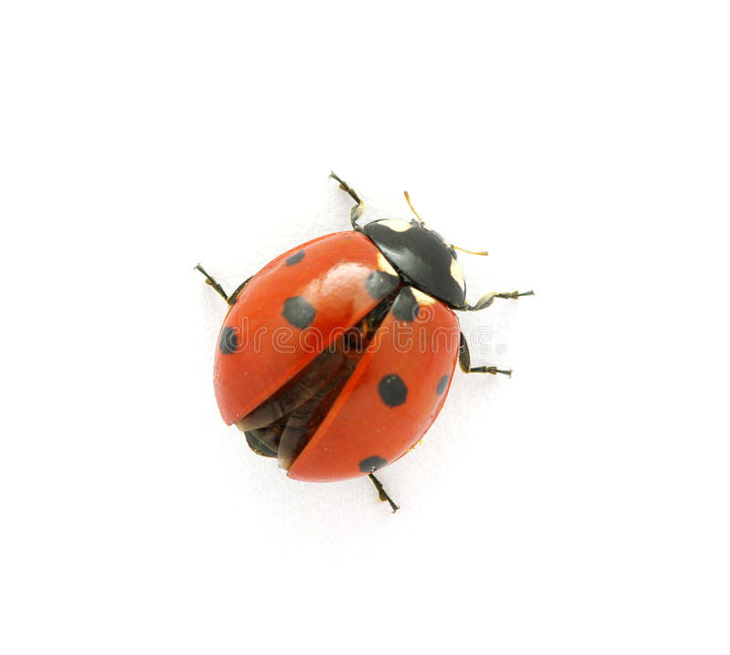 Ladybug royalty free stock photo