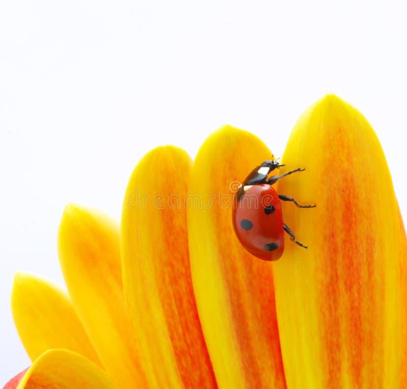 Free Ladybug Royalty Free Stock Photos - 13405388