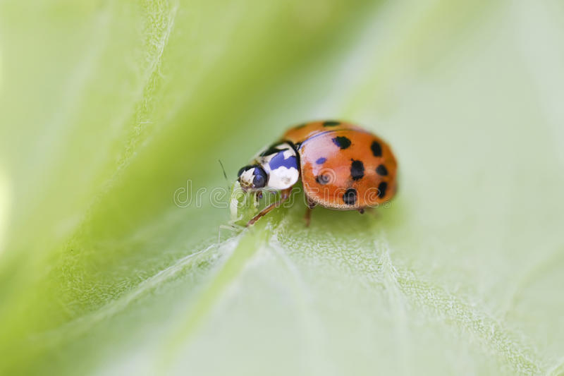 LADYBUG. The ladybug is eating greenfly on a stem royalty free stock photos