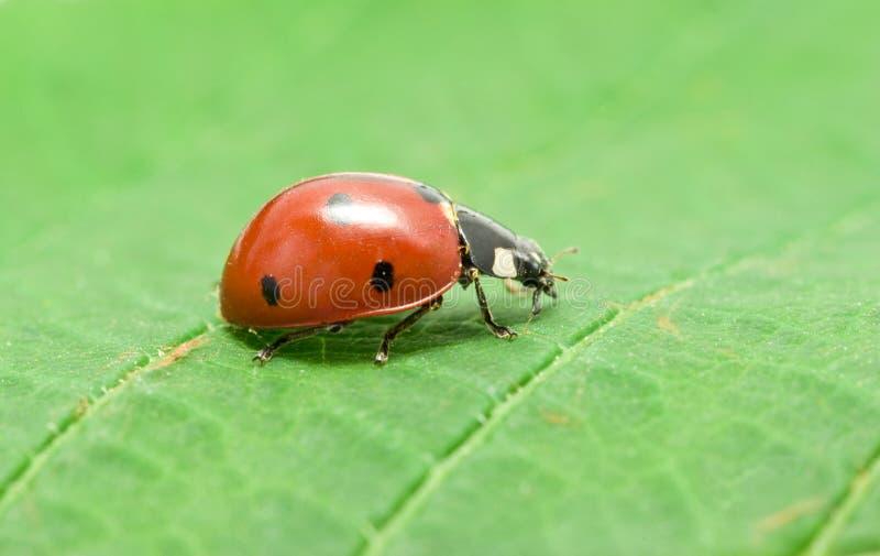 Download Ladybug Stock Photography - Image: 14328582