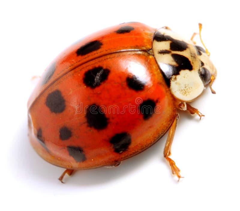 Ladybug fotografie stock libere da diritti