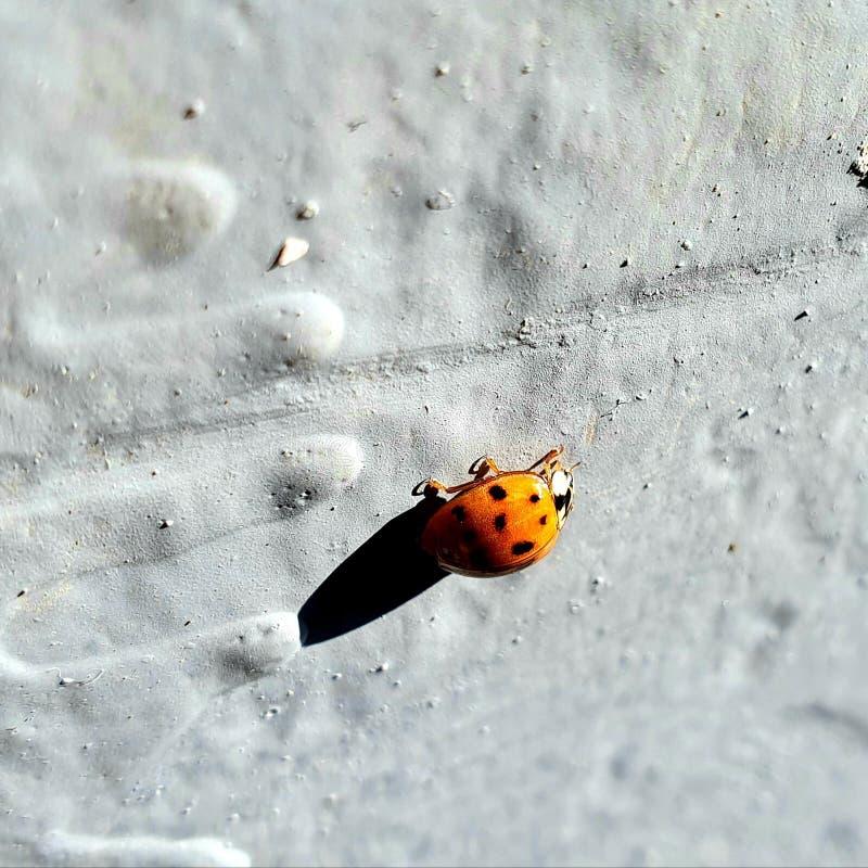 Ladybug stock foto