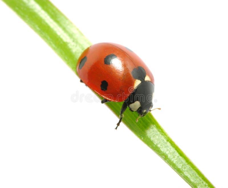 Ladybug immagini stock