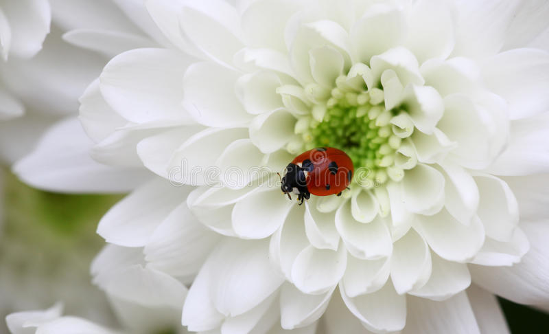 Download Ladybug stock photo. Image of heart, crawl, ladybug, adorable - 18769878