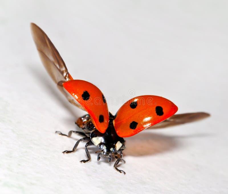 ladybug стоковые фотографии rf