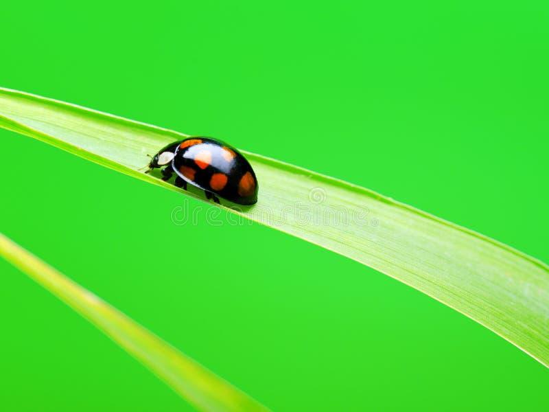 Download Ladybug Stock Images - Image: 21309594