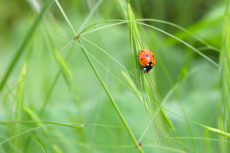 Download Ladybug stock photo. Image of season, nature, beetle - 25636500