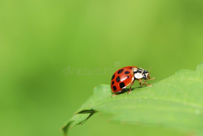 Download Ladybug stock photo. Image of crawling, beetle, green - 26267422