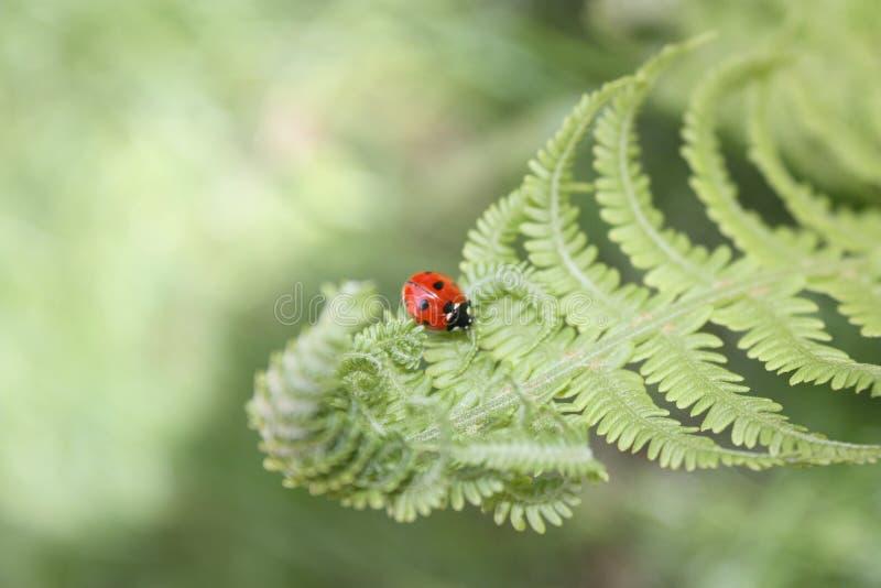 Download Ladybug Royalty Free Stock Images - Image: 26407729