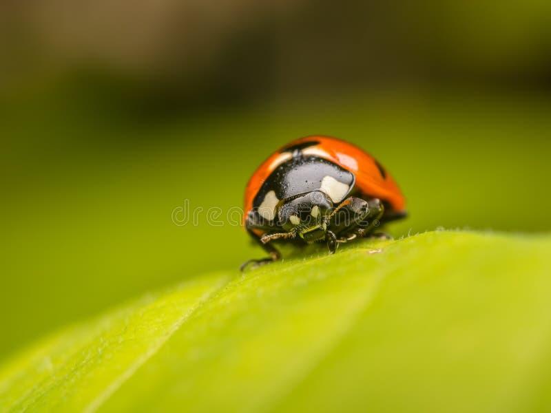 Download Ladybug stock image. Image of close, botany, bugs, coccinellidae - 26776991