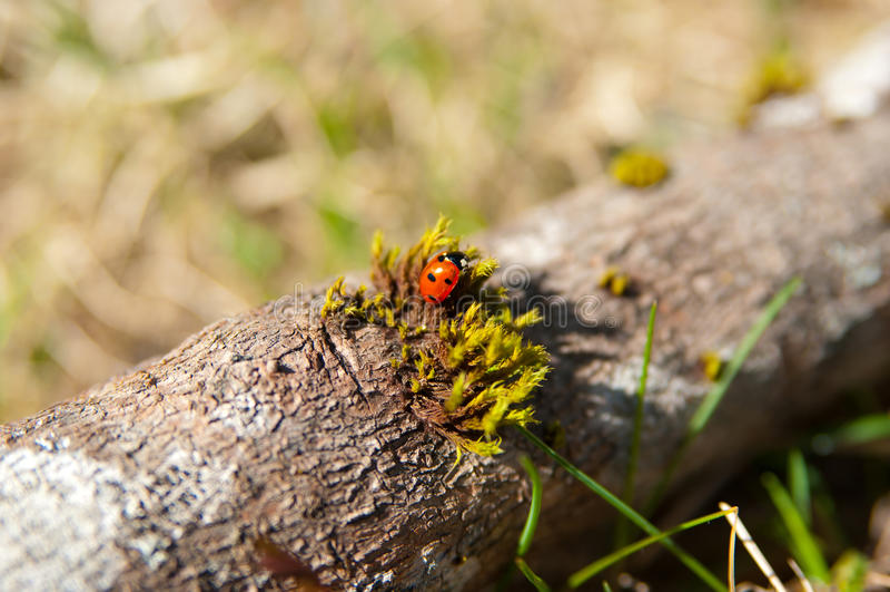 Download Ladybug stock image. Image of antenna, environment, yellow - 28977313