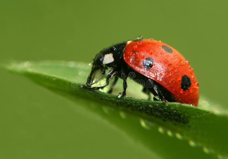 Download Ladybug immagine stock. Immagine di ladybug, pianta, giardino - 3875119