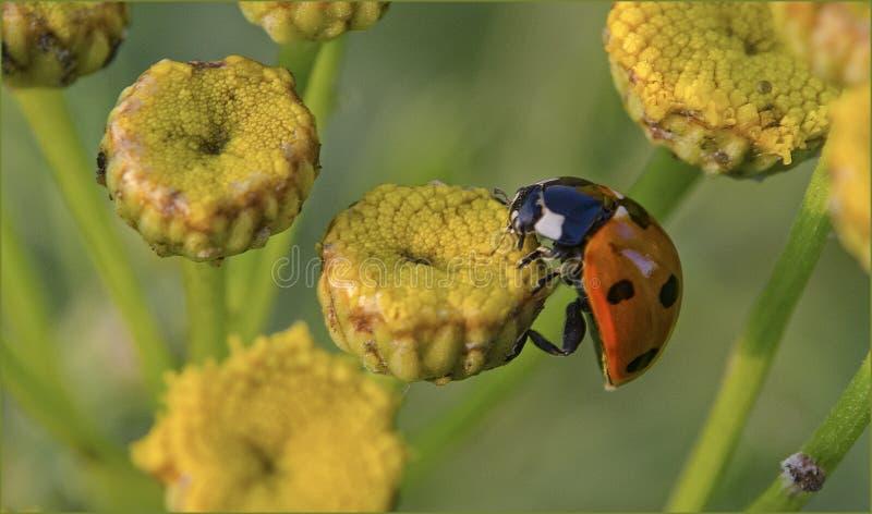 Download Ladybug стоковое изображение. изображение насчитывающей green - 40579251