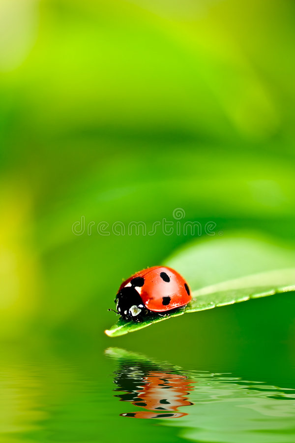 Ladybug. On a leaf reflected on water