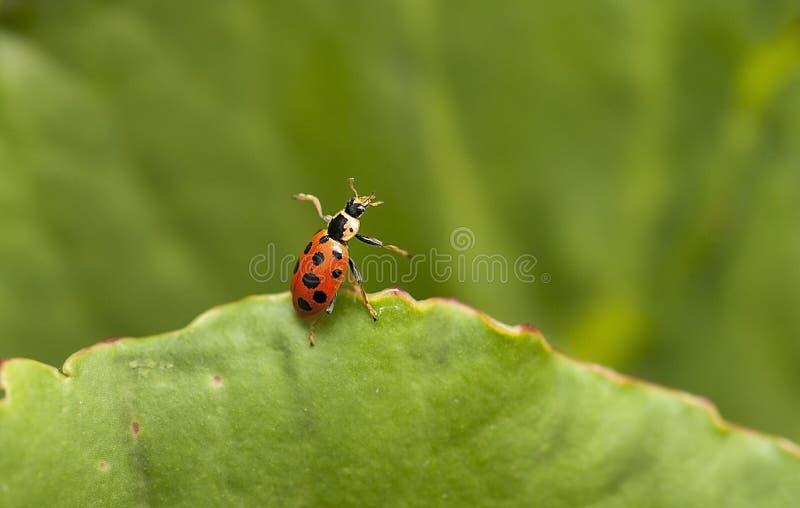 Ladybug стоковые изображения