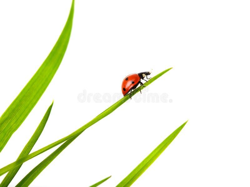 Ladybug foto de archivo