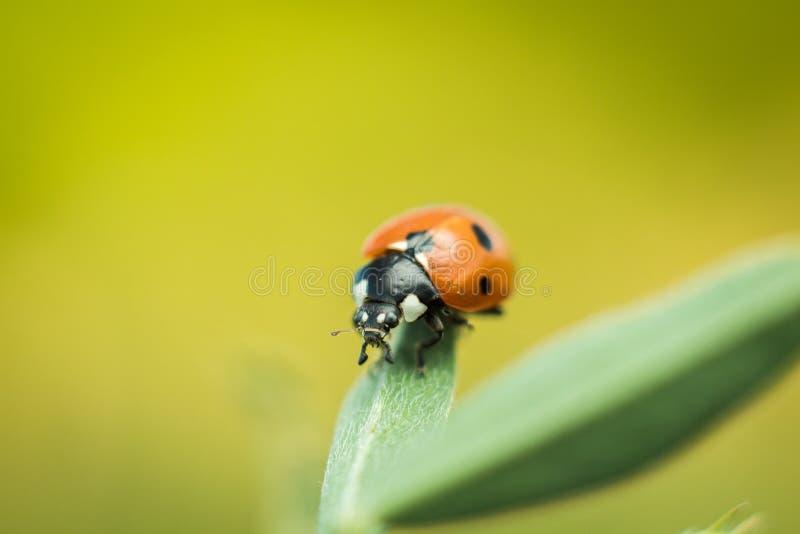 LadyBug [02] foto de stock royalty free
