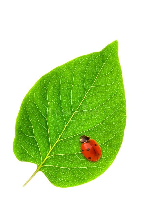 Ladybug foto de archivo libre de regalías