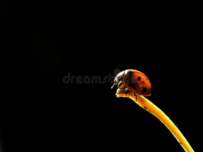 Ladybug. Sitting on a leaf tip stock images