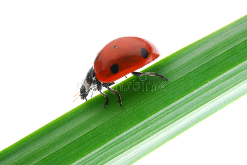 Download Ladybug stock image. Image of blade, colours, isolated - 8915111