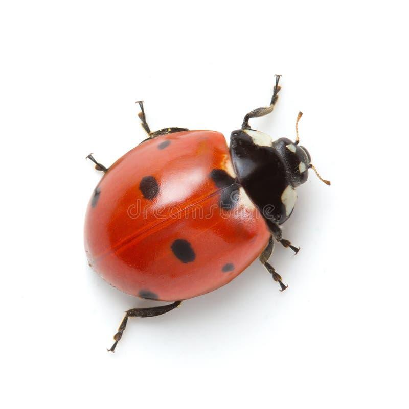 Free Ladybug Royalty Free Stock Image - 89340926
