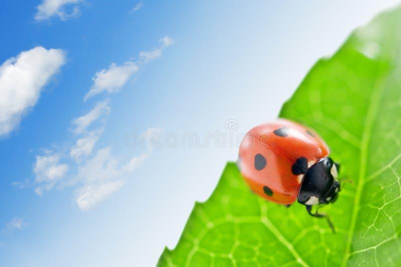 ladybug στοκ εικόνες με δικαίωμα ελεύθερης χρήσης