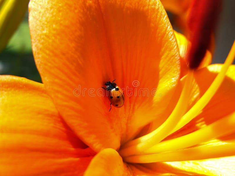Ladybug afortunado fotografia de stock royalty free