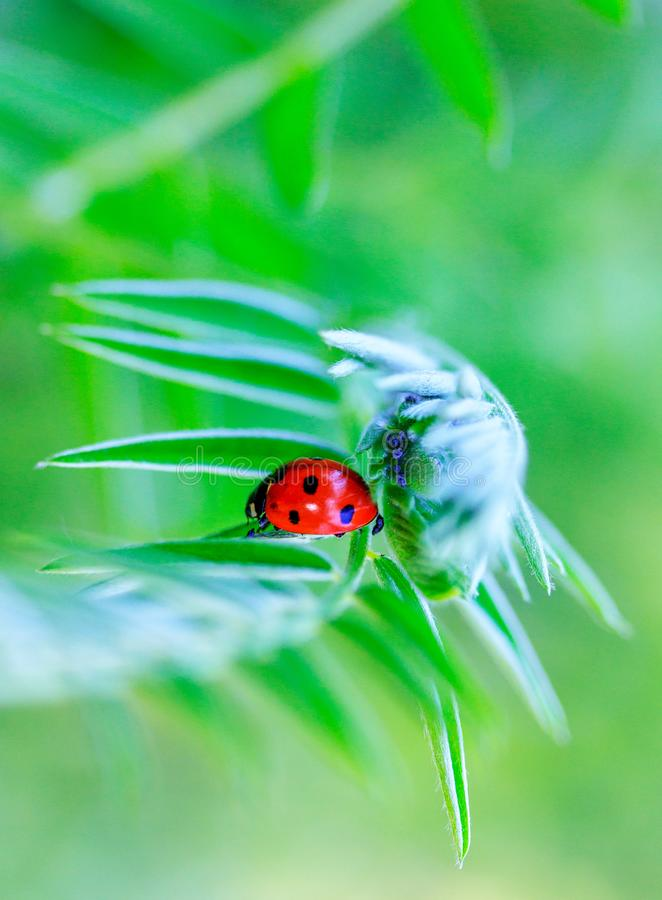 Ladybug and aphid under the leaf of the plant stock image