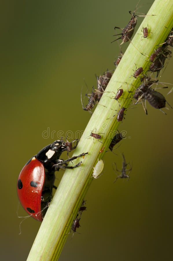 Download Ladybug And Aphids Stock Photo - Image: 13484790