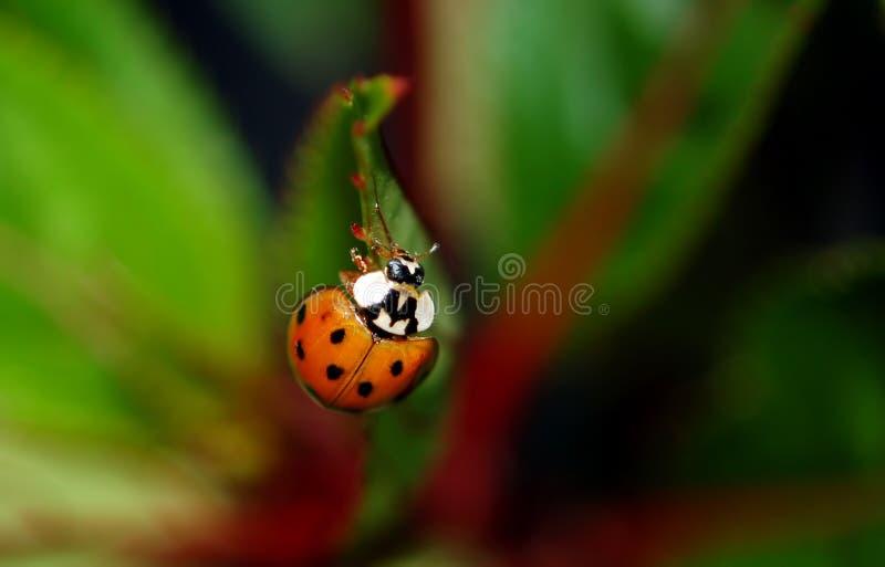 Ladybug asiático imagem de stock