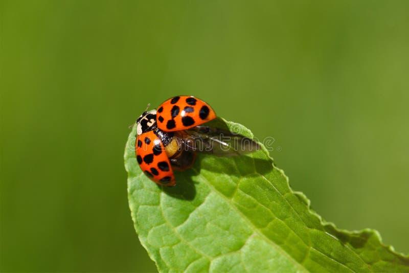 Ladybug (axyridis Harmonia) στοκ φωτογραφίες