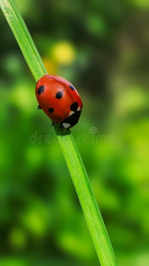 Ladybug in balance. Close up on ladybug on green background for phone wallpaper use