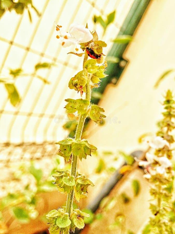 Ladybug on Basil royalty free stock image