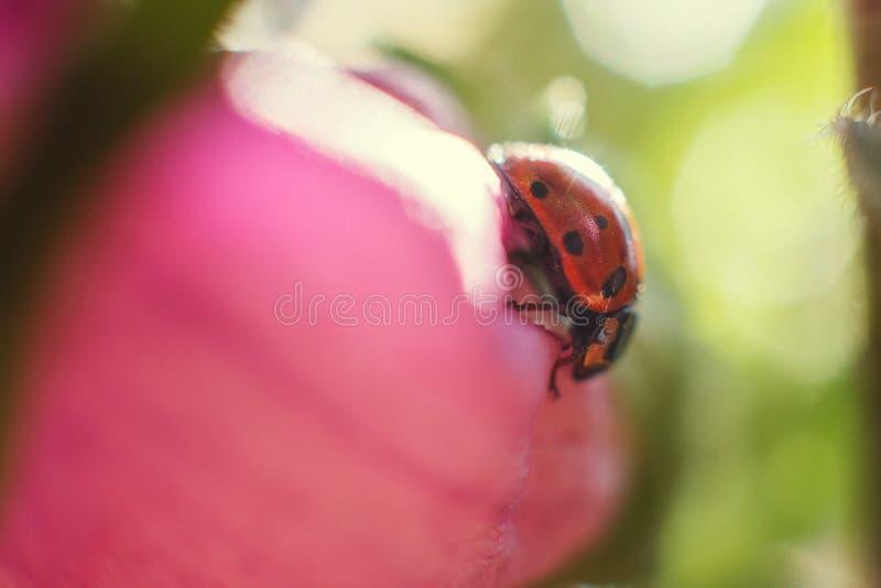 Ladybug on  bell flower close up stock photos
