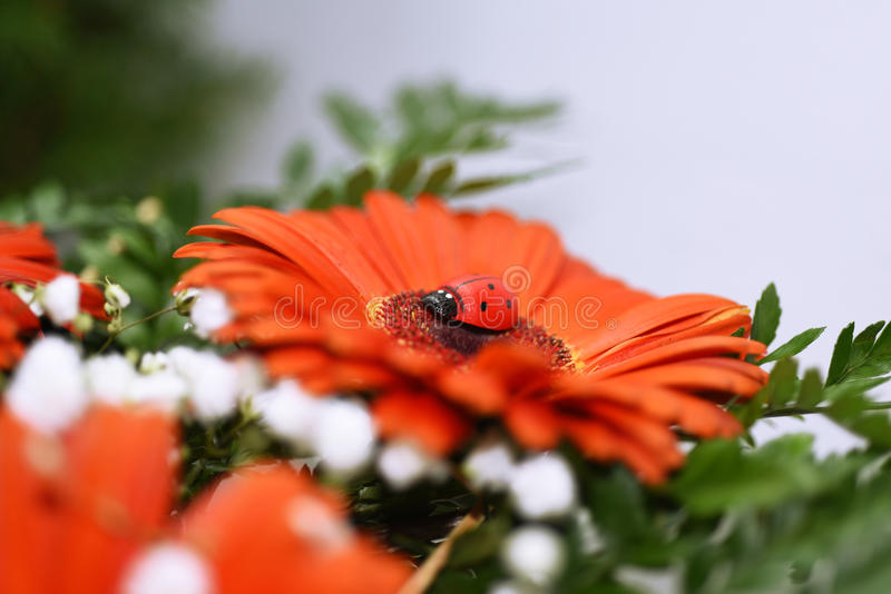 Ladybug on big red flower. Macro photo stock photo