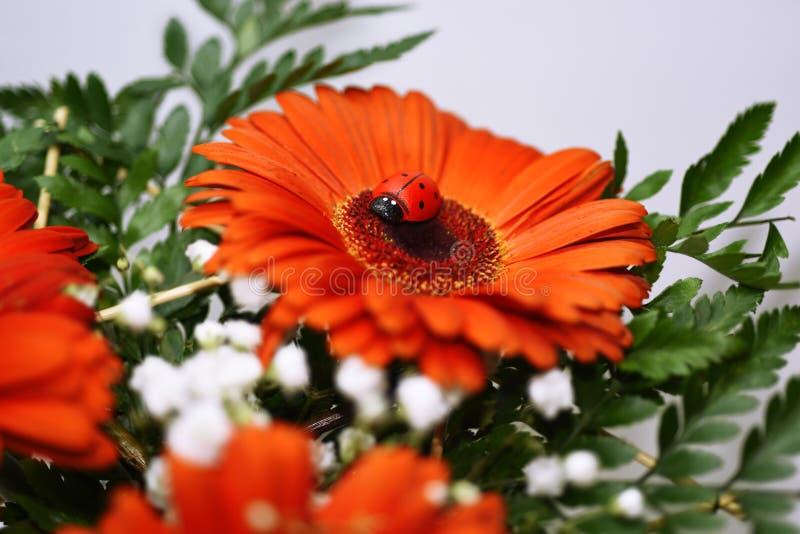 Ladybug on big red flower. Macro photo stock photography