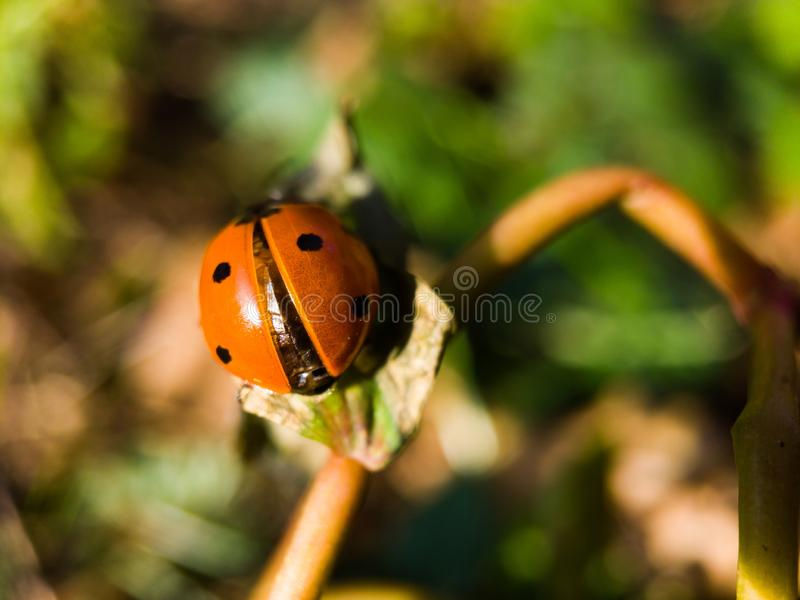 A ladybug on a blade of grass. Is on the verge of taking off royalty free stock images