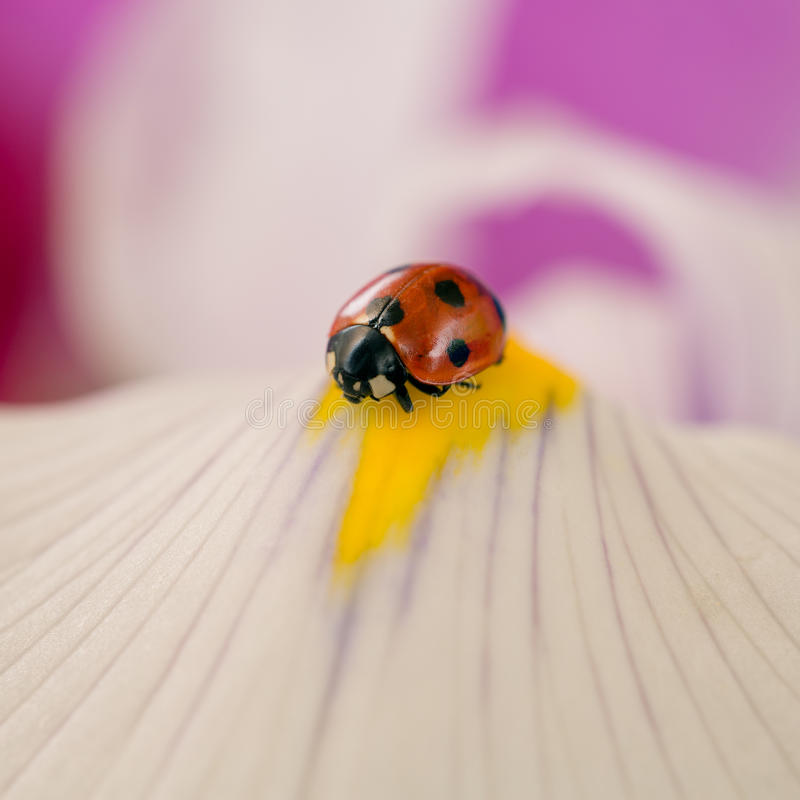 Ladybug on the blossom of a flower royalty free stock image