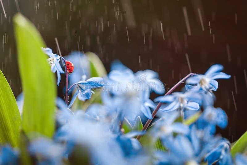Ladybug on a blue flower stock photos