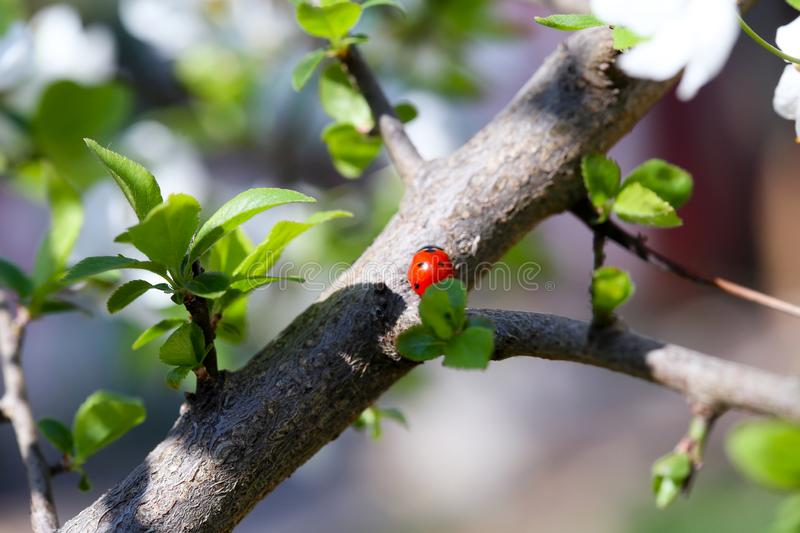 Ladybug on a branch with green leaves royalty free stock photo