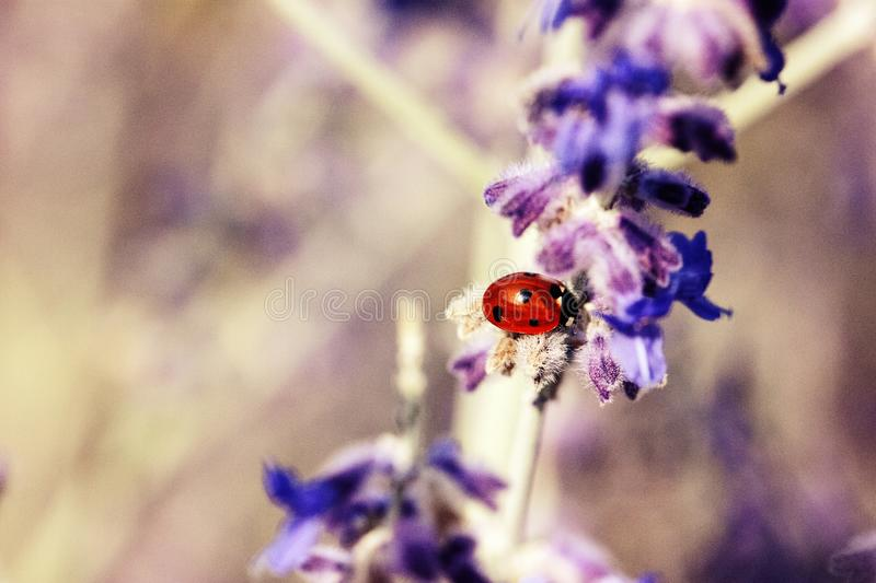 Ladybug On A Branch With Purple Flowers royalty free stock photo