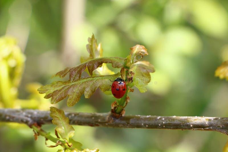 Download Ladybug on branch stock image. Image of plant, fauna - 92207551
