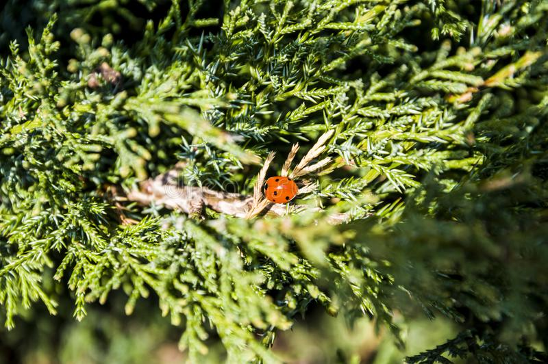 ladybug on the branches of a green bush royalty free stock photography