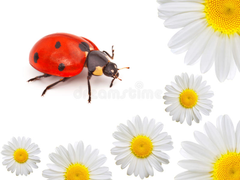 Ladybug with camomile. On white background stock images