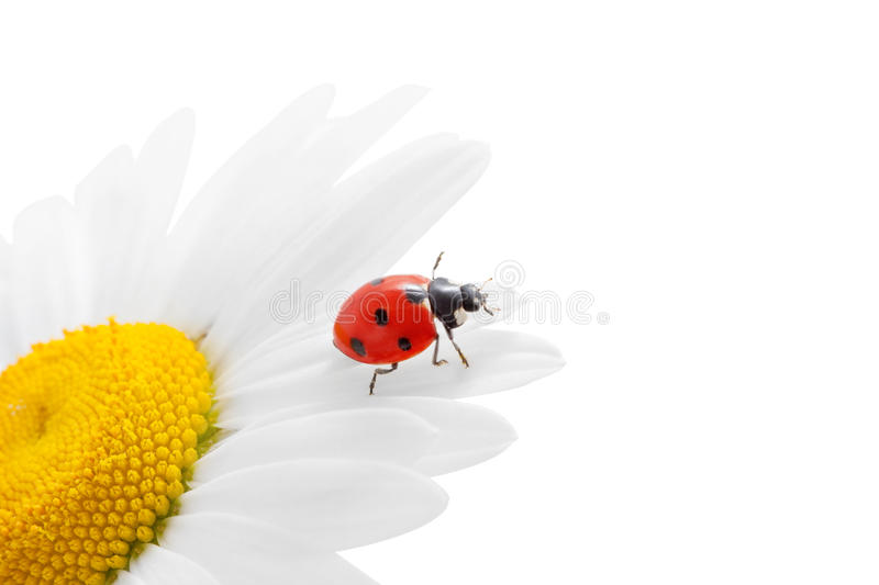 Ladybug on chamomile stock photo