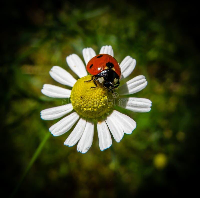 Ladybug on a chamomile flower stock photos